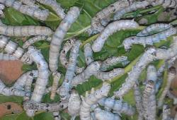 silkworms on mulberry